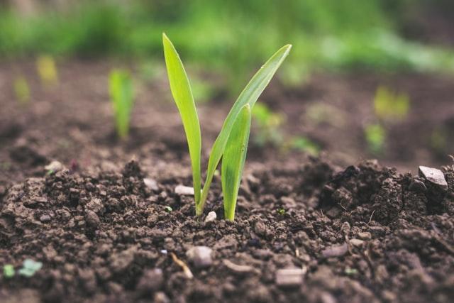 Zatrzymaj skutki jakie niesie przypąkowe zamieranie pędów maliny